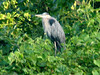 August 22, 2009 - (Creve Coeur County Park [from Creve Coeur Lake bicycle trail] / Maryland Heights, Saint Louis County, Missouri) -- Great Blue Heron