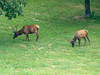 July 18, 2009 - (Lone Elk County Park / Valley Park, Saint Louis County, Missouri) -- Elk