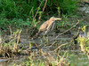 August 1, 2009 - (Carlyle Lake [Eldon Hazlett State Park] / Carlyle, Clinton County, Illinois) -- Green Heron