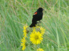 July 18, 2009 - (Riverlands Migratory Bird Sanctuary / West Alton, Saint Charles County, Missouri) -- Red-winged Blackbird