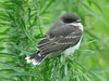 July 18, 2009 - (Riverlands Migratory Bird Sanctuary / West Alton, Saint Charles County, Missouri) -- Juvenile Eastern Kingbird