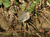 September 26, 2009 - (Creve Coeur County Park [from Creve Coeur Lake bicycle trail] / Maryland Heights, Saint Louis County, Missouri) -- Green Heron