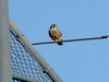 October 19, 2009 - (Parkway Central High School [baseball backstop] / Chesterfield, Saint Louis County, Missouri) -- American Kestrel