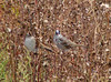 White-crowned Sparrows @ BK Leach CA