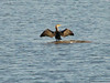 November 14, 2009 - (Riverlands Migratory Bird Sanctuary [Teal Pond] / Saint Charles County, Missouri) -- Double-crested Cormorant drying wings