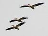 American White Pelicans @ BK Leach CA