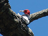 October 31, 2009 - (Shaw Nature Reserve / Gray Summit, Franklin County, Missouri) -- Red-headed Woodpecker