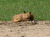 November 6, 2009 - (Parkway Central High School [baseball field] / Chesterfield, Saint Louis County, Missouri) -- Red Fox soaking up some sun