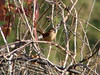 November 7, 2009 - (Simpson Lake County Park [near pavilion] / Valley Park, Saint Louis County, Missouri) -- Carolina Wren