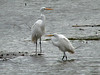 October 17, 2009 - (Riverlands Migratory Bird Sanctuary [Heron Pond] / West Alton, Saint Charles County, Missouri) -- Great Egrets