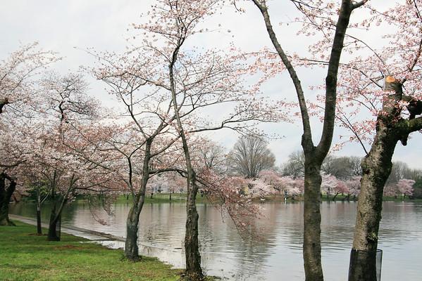 2009 Cherry Blossom Festival DC