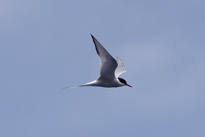 Arctic Tern (1) at Hatteras, NC (05-25-2009)