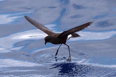 Wilson's Storm-Petrel juvenile (1) at Hatteras, NC (05-25-2009)