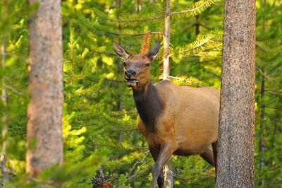 Cow elk near Grant Village, Yellowstone National Park