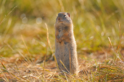 Ground squirrel, Slough Creek area, Yellowstone National Park