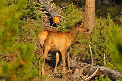 Elk near Grant Village, Yellowstone National Park