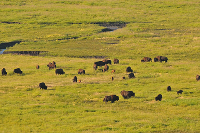 Buffalo, Lamar Valley, Yellowstone National Park
