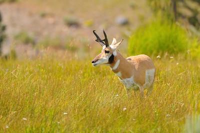 Antelope Buck, Yellowstone National Park