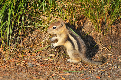 Chipmunk on the north rim of Yellowstone Canyon
