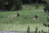 More Elk