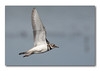 Plover in flight
