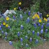 Texas Bluebonnets and Engelmann's Daisy in bloom