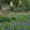 Texas Bluebonnets, Indian Paintbrush and flowering Yucca plants