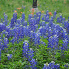 Texas Bluebonnets with Indian Paintbrush in the background