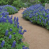 Best year for Texas Bluebonnets in many, many years.  We had enough rain and cooler temperatures.