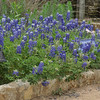 Great crop of Bluebonnets this year with an abundance of rain last fall