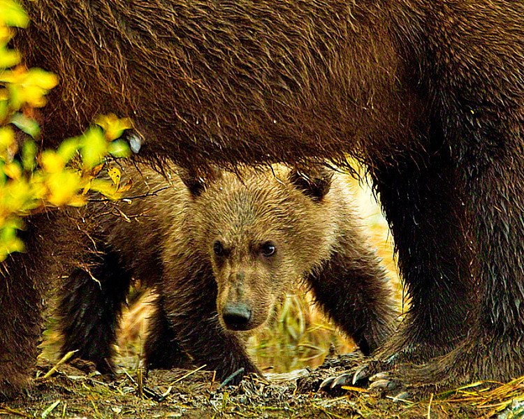 Grizzly cub playing  Peek a Booo