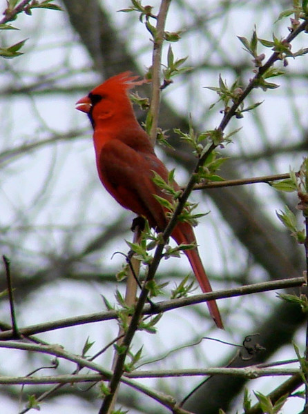 April 2, 2010 - (Parkway Central High School [over wooded trail] / Chesterfield, Saint Louis County, Missouri) -- Northern Cardinal