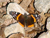 April 8, 2010 - (Emmenegger Nature Park  [near parking lot] / Kirkwood, Saint Louis County, Missouri) -- Red Admiral Butterfly