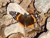 April 8, 2010 - (Emmenegger Nature Park  [near parking lot] / Kirkwood, Saint Louis County, Missouri) -- Red Admiral Butterfly