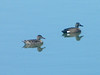 April 13, 2010 - (Simpson Lake County Park [water treatment pond] / Valley Park, Saint Louis County, Missouri) -- Pair of Blue-winged Teal