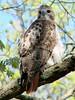 April 8, 2010 - (Powder Valley Conservation Nature Center [near foot-bridge] / Kirkwood, Saint Louis County, Missouri) -- Red-tailed Hawk
