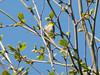 April 10, 2010 - (Rockwoods Reservation [near Glencoe Road] / Wildwood, Saint Louis County, Missouri) -- Yellow-throated Warbler
