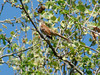 April 9, 2010 - (Simpson Lake County Park [over boat-ramp parking lot] / Valley Park, Saint Louis County, Missouri) -- Brown Thrasher