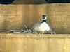 April 10, 2010 - (Meramec Landing Park [under railroad trestle] / Valley Park, Saint Louis County, Missouri) -- Canada Goose nesting