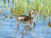 April 3, 2010 - (Columbia Bottom Conservation Area [flooded farm field] / Spanish Lake, Saint Louis County, Missouri) -- Pied-billed Grebe