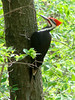 April 6, 2010 - (Simpson Lake County Park [near bicycle trail] / Valley Park, Saint Louis County, Missouri) - Male Pileated Woodpecker