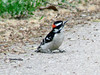 April 2, 2010 - (Castlewood State Park [wooded trail near Meramec River] / Ballwin, Saint Louis County, Missouri) -- Male Downy Woodpecker