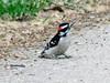 April 2, 2010 - (Castlewood State Park [wooded trail near Meramec River] / Ballwin, Saint Louis County, Missouri) -- Male Downy Woodpecker