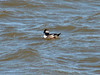 "April 3, 2010 - (Riverlands Migratory Bird Sanctuary [Teal Pond] / West Alton, Saint Charles County, Missouri) -- ""post""-1st winter Bufflehead"