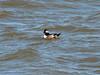 "April 3, 2010 - (Riverlands Migratory Bird Sanctuary [Teal Pond] / West Alton, Saint Charles County, Missouri) -- ""post""-1st winter Bufflehead"