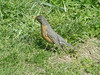 April 13, 2010 - (Parkway Central High School [near baseball field] / Chesterfield, Saint Louis County, Missouri) -- American Robin