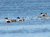 April 3, 2010 - (Columbia Bottom Conservation Area [flooded farm field] / Spanish Lake, Saint Louis County, Missouri) -- Northern Shovelers