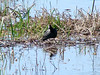 April 3, 2010 - (Riverlands Migratory Bird Sanctuary [flooded field near Wise Road] / West Alton, Saint Charles County, Missouri) -- American Coot