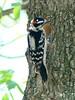 April 9, 2010 - (Simpson Lake County Park [near boat-ramp parking lot] / Valley Park, Saint Louis County, Missouri) -- Downy Woodpecker