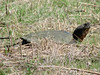 April 3, 2010 - (Columbia Bottom Conservation Area [farm field] / Spanish Lake, Saint Louis County, Missouri) -- Large Snapping Turtle in grassy field